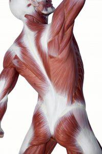 La fascia de las extremidades y la espalda: una revisión